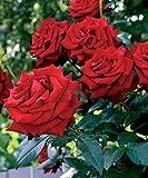 Rosier buisson rouge vif
