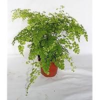 Adiantum fragans (maceta 12 cm Ø) - Planta viva de interior