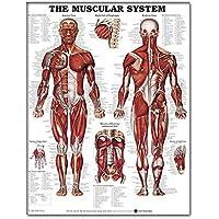 Panel de pared de la Anatomical sistema muscular del cartel En realista la tela de seda que aprende el gráfico de la anatomía muscular