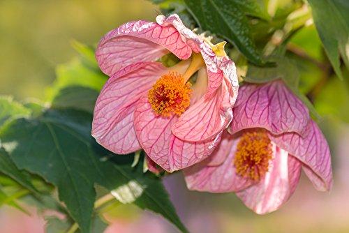 Schönmalve 20 Samen, Abutilon Samen -auffallende Schönheit der Blüten