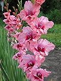 Easy Gardening American Beauty Gladiolus Flower Bulbs - High Flowering (Pack of 6 Healthy Bulbs)
