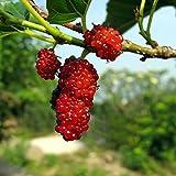 Maulbeere rot - Morus rubra - Samen