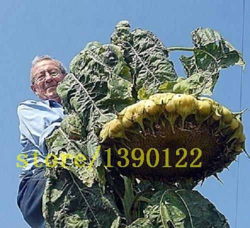 20 pcs graines de tournesol géant graines grosses fleurs géantes tournesol noir graines de tournesol russe pour le jardin à la maison