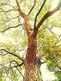 PlenTree Acajou des Antilles, bois d'acajou Bonsaï Rare dur Bois Graine 100 graines