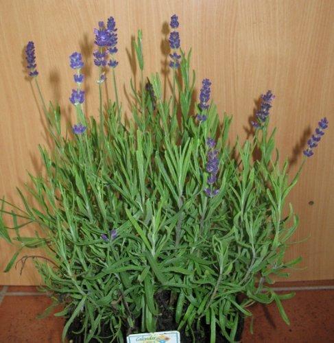 Produkt-Bild: lilablau blühender Lavendel Hidcote Blue Solitär im 3 Liter Pflanzcontainer