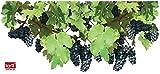 1art1 Tralci di Vite - Foglie E Grappoli D'uva Sticker per Finestre (60 x 28cm)