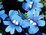 Nemesia Blue Gem seeds - Nemesia strumosa