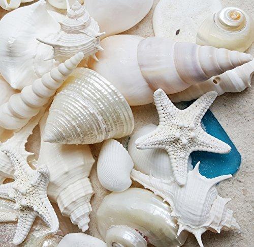 scheln mit Sea Glass-Home Decor Hochzeit Luxus Sea Shell Mix, Weihnachten oder Crafts-30+ Muscheln ()