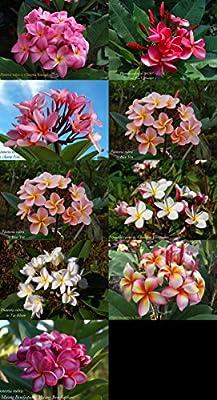 Unsere schönsten Plumeria Sorten: Mix 10 frische Samen Tempelbaum, Frangipani