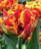 Gefüllte Tulpen Cilesta Blumenzwiebeln Tulpenzwiebeln (20 Blumenzwiebeln)