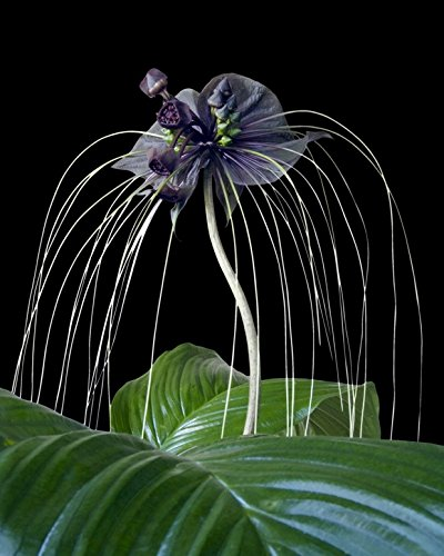 Seedeo Fledermausblume (Tacca chantrieri) 15 Samen