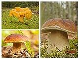 Set di funghi di quercia e faggio - 3 specie - micelio - semi