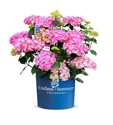 Endless Summer 'BloomStar' Hortensie pink , der knallige Stern am Hortensienhimmel , winterhart , mehrjährig , Pflanze für Garten, Terrasse, Balkon oder Kübel