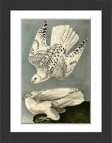 Framed Print of Iceland or Gyr Falcon., Audubon, John James, 1785-1851