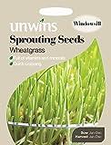 Semillas germinadas de agropiro de Unwins, 800 semillas