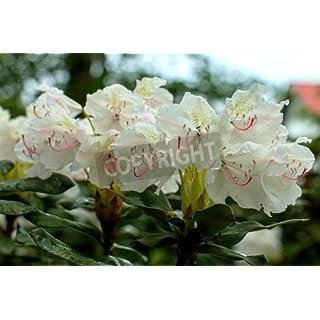 adrium Rhododendron Beautiful Flower (80754076), Poster, 80 x 50 cm