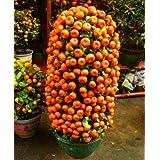 Bloom Green Co. Â¡Promoción!10 Comestibles Jardín de naranjas, Naranjas Ãrboles frutales Plantas frescas, Inicio Bonsai Cí
