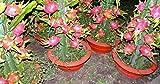 Portal Cool Stecklinge ohne Wurzeln Dragon Fruit Hilocereus Pitaya Obst