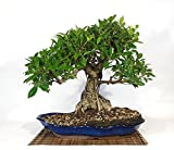 Bonsai Ficus Retusa (31)
