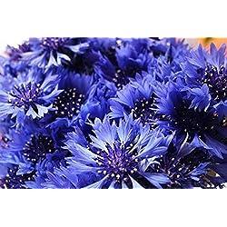Keland Garten Kornblume Samen Blumensamen selten einjährig atemraubend traumhaft (20)