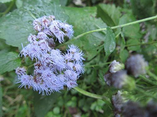 Shoopy Star Blumen: Wildflower Mix: Hummingbird Wildblumen Mischung Freh eed! -