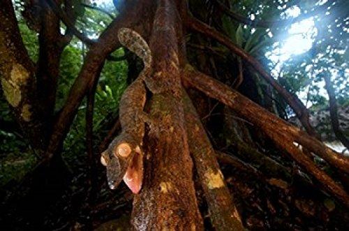 Andres Morya Hinojosa / DanitaDelimont – Giant leaf-tailed gecko (Uroplatus fimbriatus) Nosy Mangabe Reserve Madagascar Photo Print (91,44 x 60,96 cm) (Leaf Tailed Giant Gecko)