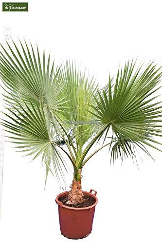 Washingtonia robusta - Mexikanische Washingtoniapalme - verschiedene Größen - PALLETTENVERSAND! (240+cm - Stamm 20+cm Topf Ø 65cm)