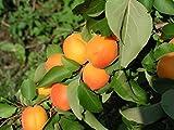Fruchtbengel, Mirabelle von Nancy, Prunus syriaca, klein, süß, saftig, hocharomatisch, alte Sorte