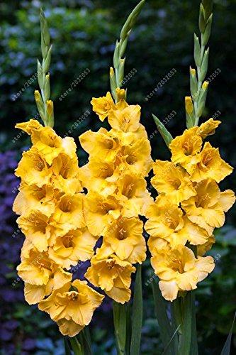 Véritable Glaïeul ampoules, bulbes de fleurs rares Épée Lily aérobic Plante en pot Bonsai Décoration de jardin (non Glaïeul Seed) - 2 ampoule 15