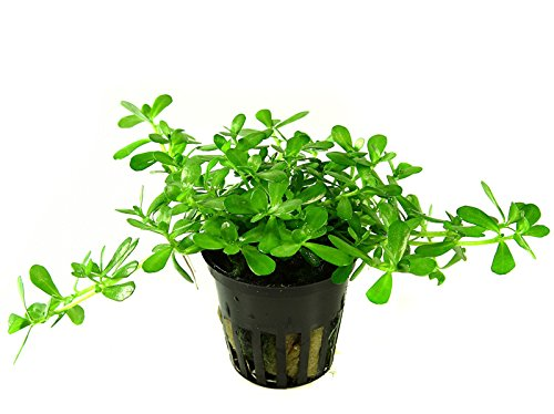 Tropica Bacopa compact Live Aquarium Plant - EU Grown & Shrimp Safe 2
