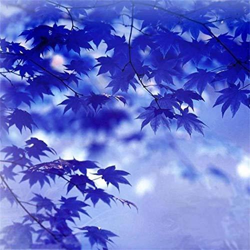 SummerRio Garten-20 Pcs Selten Blau Ahornbaumsamen Baumsamen Bonsai Ahornsamen Pflanzen Samen Mehrjährige gemäßigte für Hausgarten