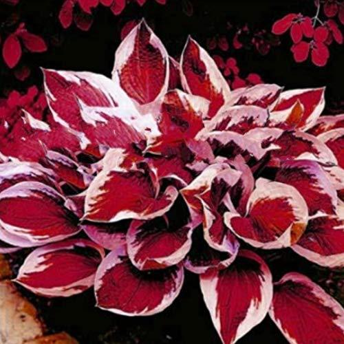 Gartensamen SummerRio- Raritäten100 stücke gemischt Feather Hosta Pflanzen Garten hosta knolle hosta funkien winterhart Samen für Vorgarten/Steingarten (Hosta-samen)