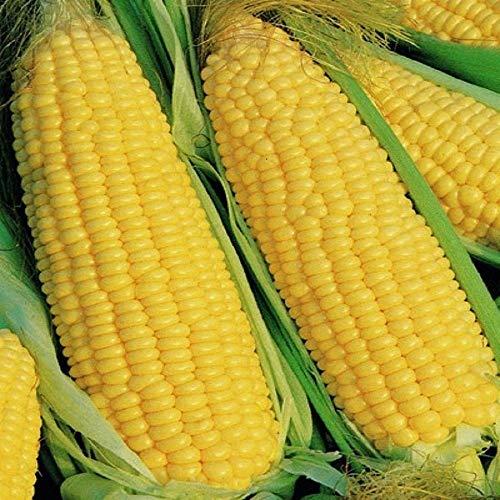 ELLEA Gartensamen - Bio Zuckermais Samen frei von Gentechnik uralte samenfeste Mais Sorte köstlicher besonders süßer Mais Samen winterhart seltene Gemüsesamen Pflanzensamen