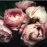 ForWall Fototapete Vlies - Wanddekoration Wandtapete - Blumen Pfingstrose Rosa Rose Schlafzimmer VEXXL (312cm. x 219cm.) AMF13298VEXXL Wandtapete Design Tapete