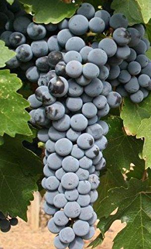 Cabernet Franc Traube Certified 10 Samen # 32010 Artikel UPC # 637632549128 erzeugt einen sehr aromatischen Rotwein