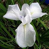 Weiße Wasserschwertlilie / Iris laevigata Snowdrift