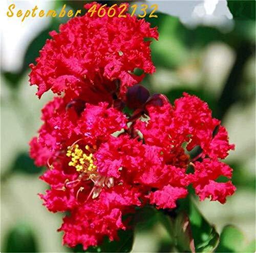 sanhoc 100 pz crape myrtle lagerstroemia indica 'natchez' perenne fiore bonsai cortile myrtle fiori giardino della casa vaso da fiori: 5