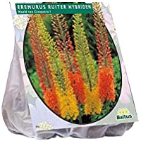 Eremurus Ruiter Hybriden 3 Stück Steppenkerze Blumenzwiebel