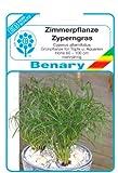 Zyperngras, Cyperus alternifolius