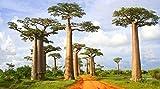 25 Stück Samen Baum Baobab Laubbaum