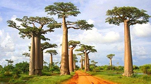 dreamshopping-25-pcs-semillas-arbol-baobab-arbol-de-hoja-caduca