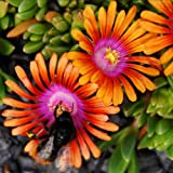 Plant World Seeds - Delosperma 'Magenta Flames' Seeds