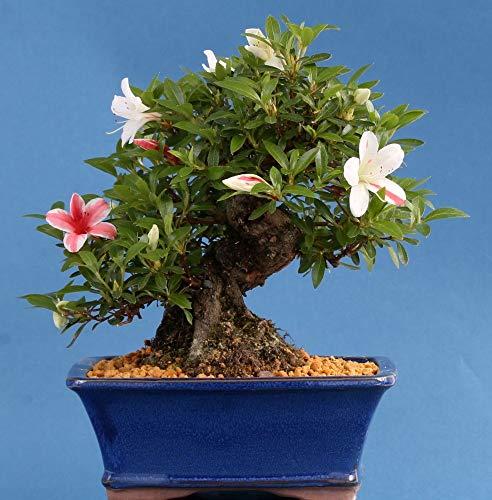 Bonsai – Jap. Satsuki Azalee 'Koharu', Rhododendron indicum, Shohin 194/23