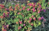 Staudenkulturen Wauschkuhn Geranium macrorrhizum 'Bevan' - Storchschnabel - Staude im 9cm Topf