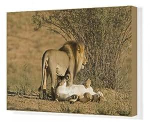 Toile de Lion-Paire d'accouplement, les mâles debout sur la femelle après l'accouplement