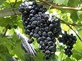 #2: Advancedestore Rare Exotic Tropical Live Fruit Grapes Plant For Home Decor or Balcony Decor