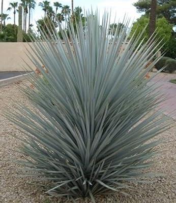 Frostharte Blaukronige Kugelyucca 90-100cm Yucca rigida Winterharte Yuccapalme von Lifestyle-Hamburg Pflanzenraritäten - Du und dein Garten