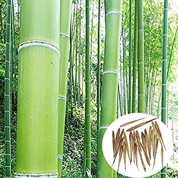 Pinkdose 50 Seeds Phyllostachys Edulis 'Jaquith' Moso Bamboo Plant
