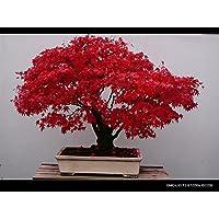 10PC rojo de China deja semillas de arce de plumas. Las especies raras, árbol bonsai pequeño