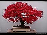 10PC China rote Blätter Feder Ahornsamen. Seltene Arten, kleine Bonsai-Baum